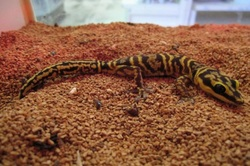 Marble Geckos Reptile And Amphibians