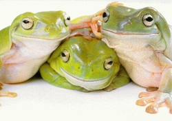 White Tree Frogs Reptile And Amphibians
